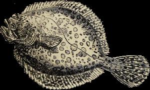 Pighvar tegning 1875