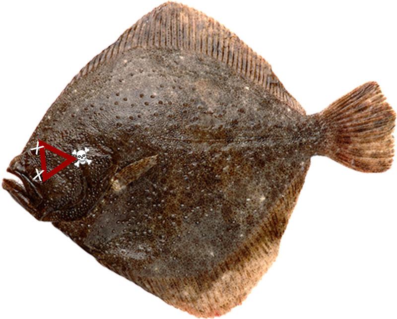 Pighvar hjerne, at dræbe en fisk
